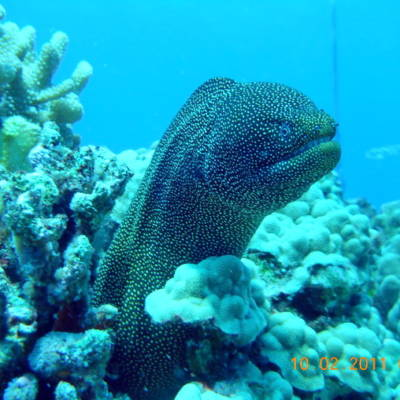 Black Spotted Morey EEL