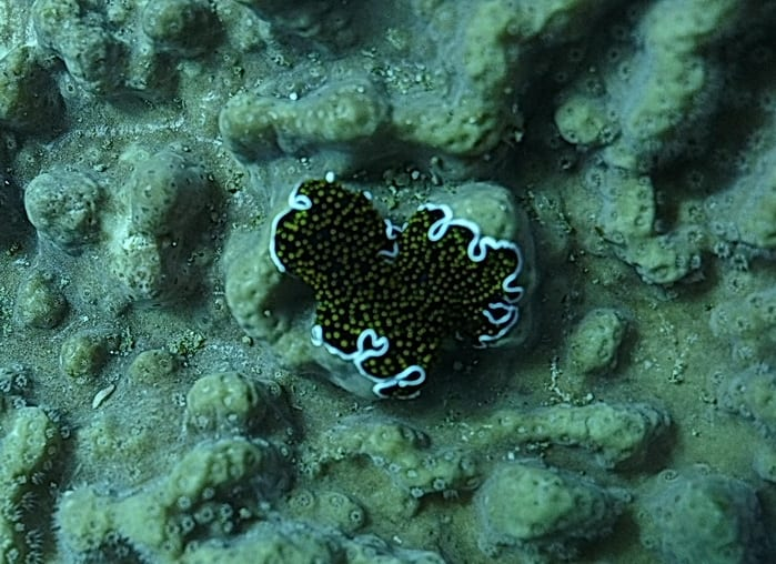 FlatWorm-blackspot.jpg